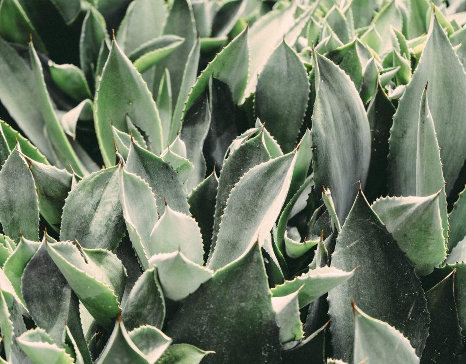 Aloes - naturalne zrodlo mlodosci